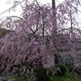 桜@身延山門前2