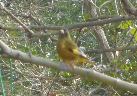 20140118orientalgreenfinch