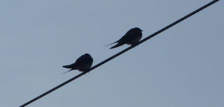 20140424swallows