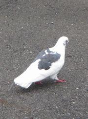 20141101pigeon
