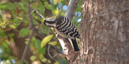 20141115pygmywoodpecker